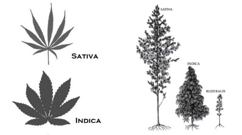 indika vs sativa