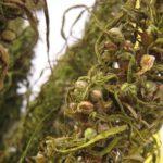 Olej z konopných semen